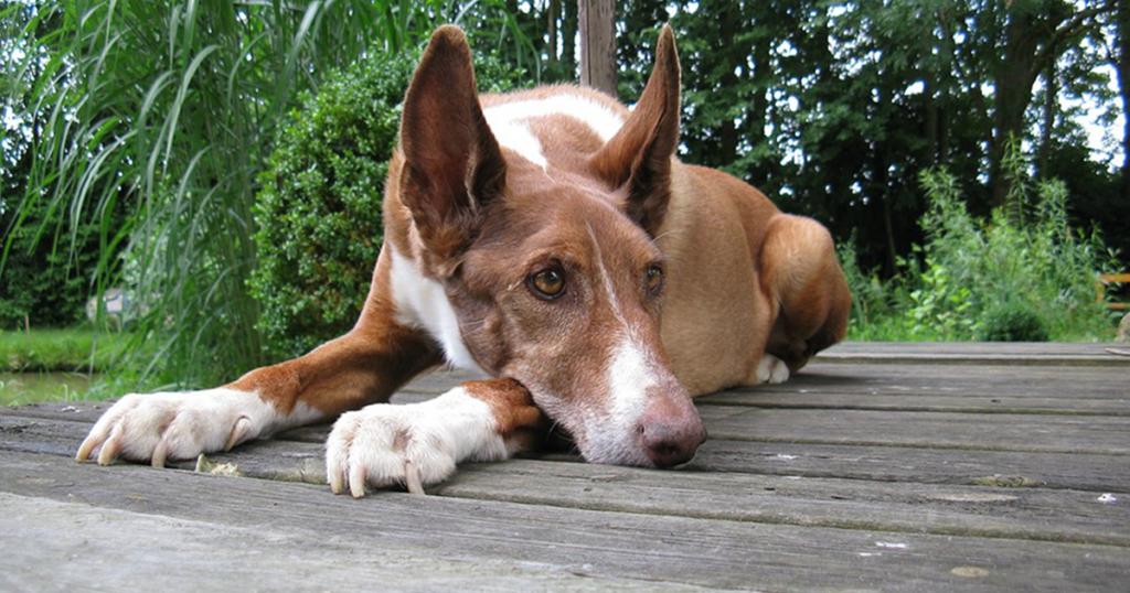 miiases-canina