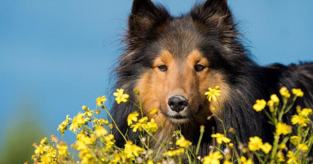 Alergia em Cães que surge na Primavera