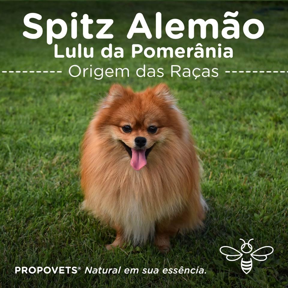 Spitz Alemão / Lulu da Pomerânia