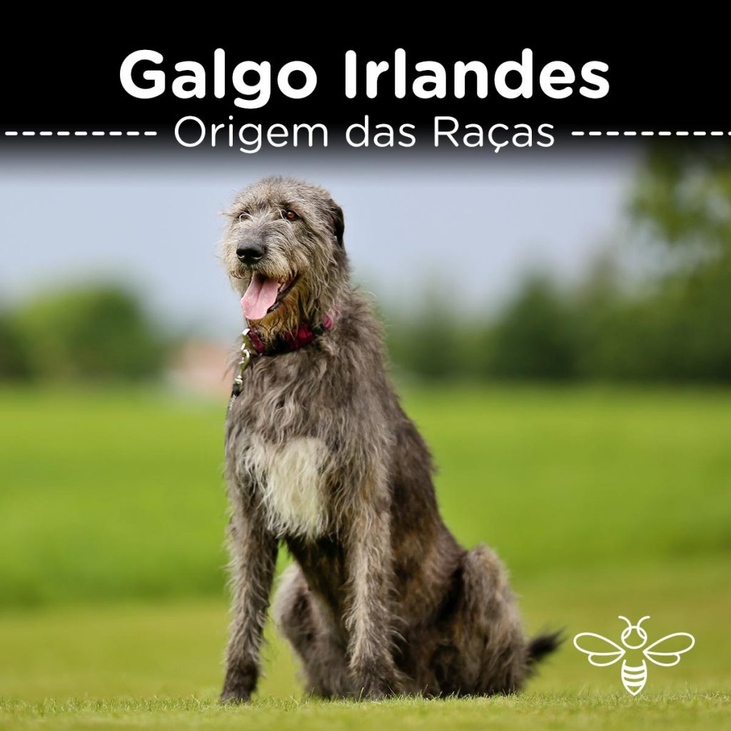 Galgo Irlandês