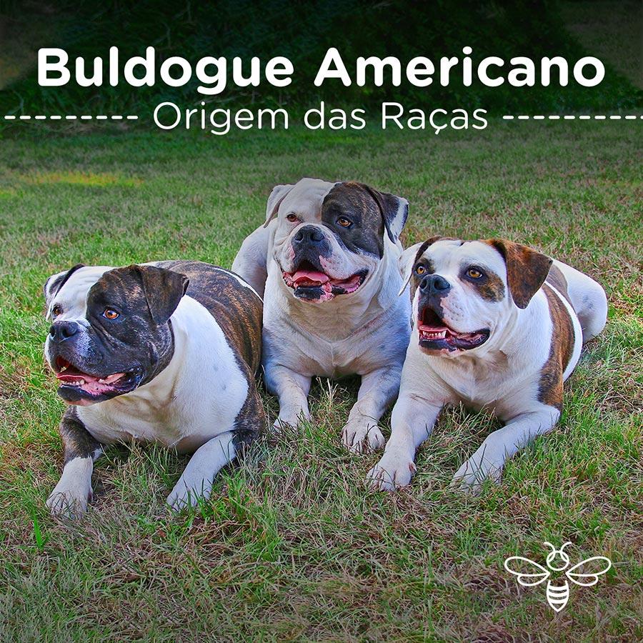Buldogue Americano
