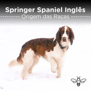 Springer Spaniel Inglês